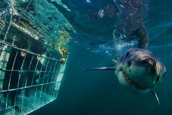 Immersione con gli squali vivere cape town - Bagno con gli squali sudafrica ...